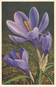 Flower Painting - Crocus a/s Thor E Gyger of Adelboden, Switzerland