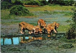 Pride of Lions 'African Wild Life' Africa Vintage Sapra Studio Postcard C3