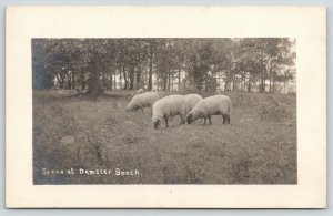 New Haven Demster Beach New York ?~Sheep Grazing by Woods~c1915 RPPC