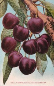 A Cluster Of Black Tartarian Cherries Edward H Mitchell