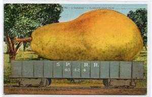 Exaggerated Mammoth Pear Exaggeration SP Railroad Car 1910c postcard