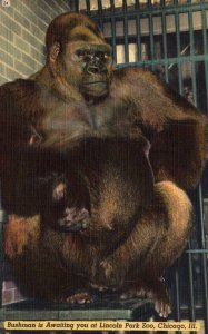Bushman the Gorilla,Lincoln Park Zoo,Chicago,IL
