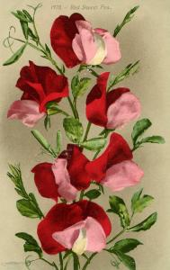 Flowers -   Sweet Peas, Red                            (Edward H. Mitchell #1...