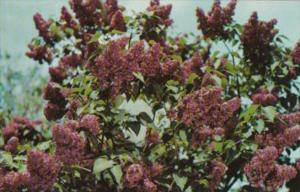 Flowers Marshall Foch Lilac In Highland Park Rochester New York Lilac Capitol...
