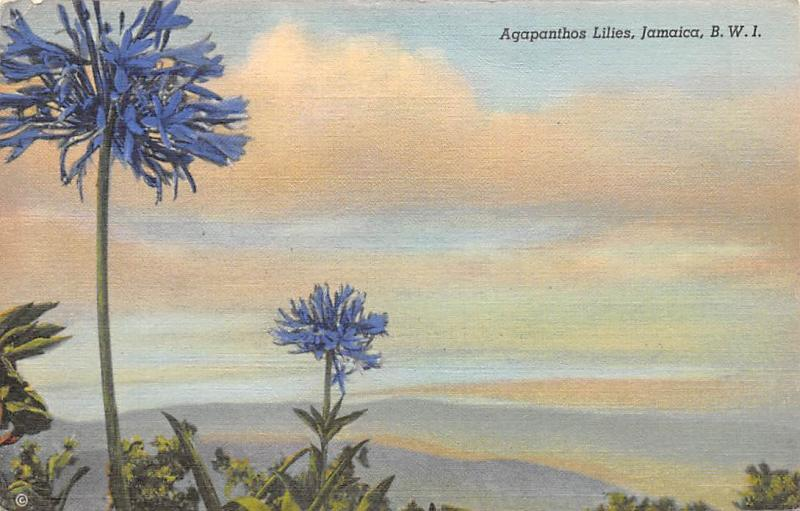 B.W.I. Jamaica Agapanthos Agapanthus Lilies Lily of the Nile Flowers
