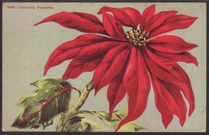 Poinsettias Postcard