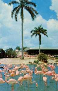 Flamingos and Swans in Florida