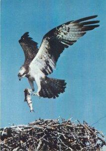 Postcard Animals osprey 1959 eagle nest