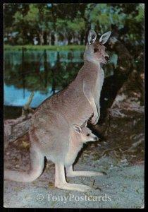 Great grey Kangaroo