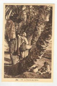La Recolte des Dattes, Arab boys pick dates, 1910s