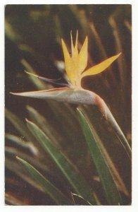 HAWAII, 1940-60s; Bird of Paradise, Hawaiian Flower (2)