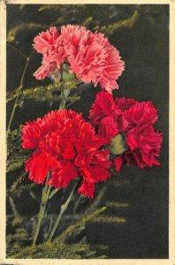Dianthus Oeillet Carnation Flowers Postcard