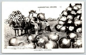 Calgary AB Medium-Size (Exaggerated-Understated) Onions~Loads on Wagon~RPPC 1951