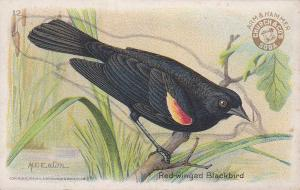 Red-winged Blackbird - Arm & Hammer Trade Card Useful Birds