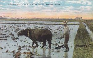 Cultivating Rice Field With Water Buffalo Hawaiian Islands