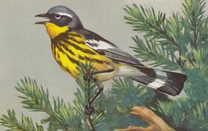 Magnolia Warbler Bird Postcard