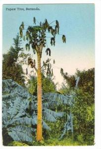 Papaw tree, Bermuda , 10-30s