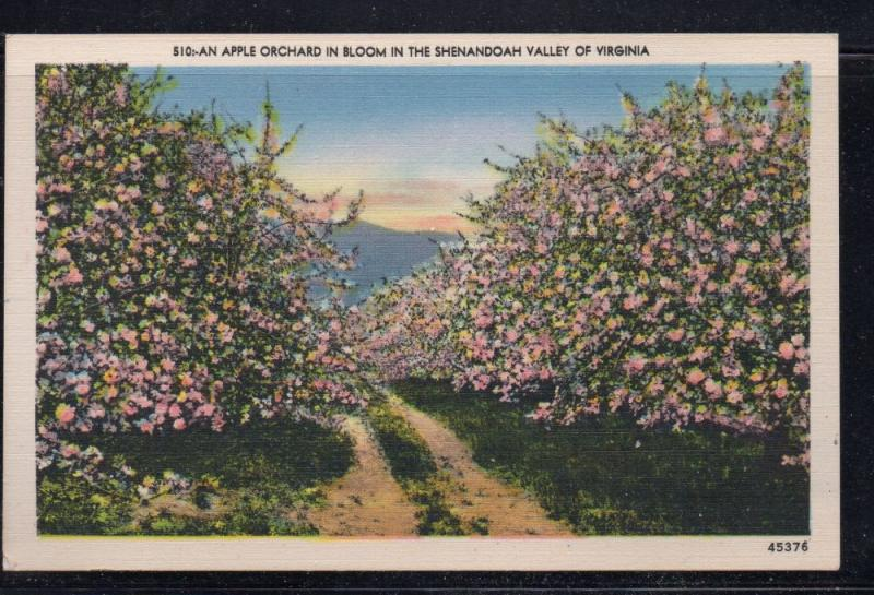 Virginia colour postcard Apple Orchard in Bloom Shenandoah Valley unused