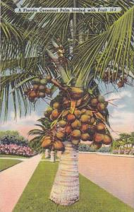 A Florida Coconut Palm loaded with Fruit, 30-40s