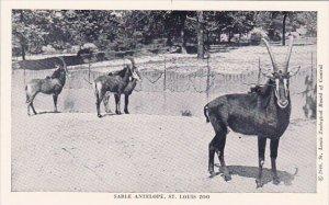 Sable Antelope Saint Louis Zoo Saint Louis Missouri