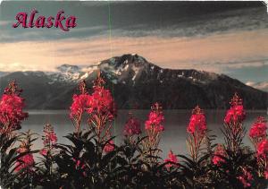 USA Alaska Fireweed along the waysides highlight Mountain Flowers