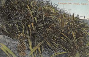 Taboga Panama~Close-Up of Crops~Pineapple Farm~Glossy c1910 SHARP!