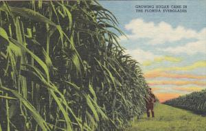 Florida Growing Sugar Cane In The Everglades Curteich