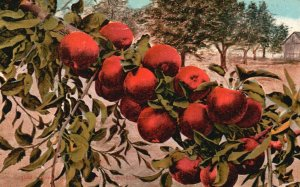 How Red Apples Grow in Washington, WA, 1940 Vintage Postcard g8245