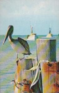 Birds A Pelican Along A Florida Waterway