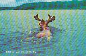 Moose swimming, Lebel sur Queviilon, Abitibi, Province of Quebec, Canada, 40-60s