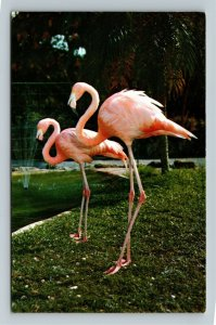 Miami FL-Florida, Flamingos at Parrot Jungle Attraction, Chrome Postcard