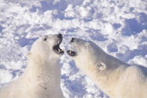 2 Polar Bears Roaring at Each Other, Postcard #16