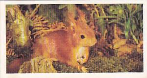 Brooke Bond Vintage Trade Card Woodland Wildlife 1980 No 32 Red Squirrel