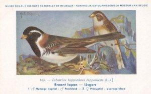 Lapland Longspur Calcarius Lapponicus Old WW2 Bird Rare Postcard