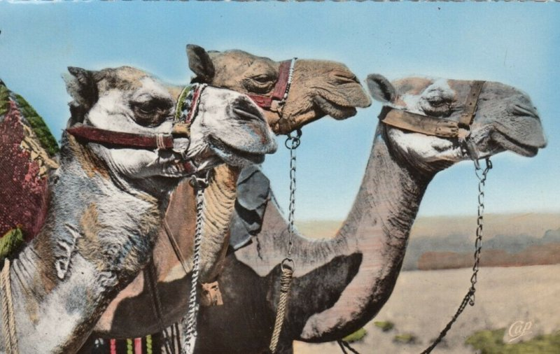 RP; MAROC , Africa , 1930s; Camels, Dromedary Heads