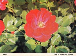 Widford Essex Garden Flowers Rose Roses Blossom Womens Institute Postcard