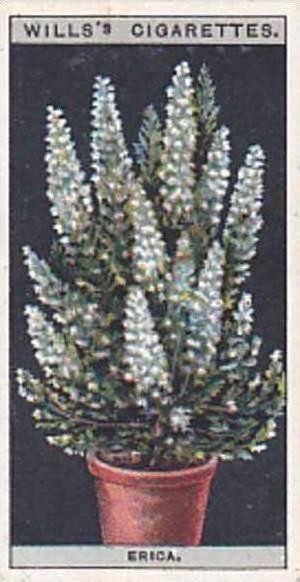Wills Vintage Cigarette Card Flower Culture In Pots No 22 Erica  1925