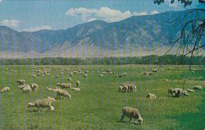 Montana Sheep In The Jefferson Valley Boulder Montana 1962