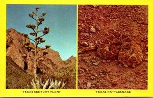 Texas Century Plant and Rattlesnake