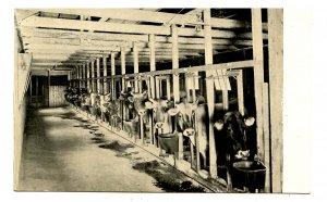 MA - Newton. Wauwinet Farm, Dairy Barn No. 1 Interior with Cows