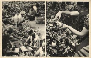 israel, Orange picking at Mikveh (1930s) Judaica Postcard