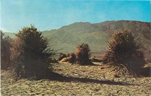 Devil's Cornfield, Death Valley National Monument, CA, California, 1981 Chrome