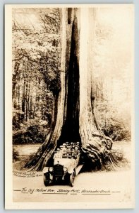 Vancouver BC~Dozen Squeeze Thru Hollow Tree in Big White Touring Card~RPPC 1920s
