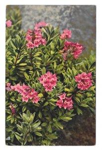 Alpenflora Rhododendron Austria Nenke Ostermaier Serie 523 Nr 949 Postcard