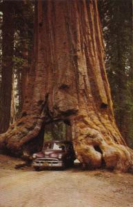 California Car Driving Through Wawona Tree Mariposa Grove Yosemite National Park