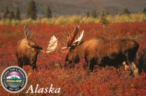 Two Bull Moose in Denali National Park, Alaska