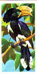 Brooke Bond Trade Card Tropical Birds No 2 Crested Hornbill