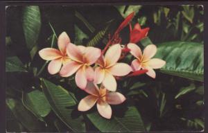 Pink Plumeria BIN