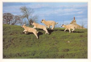 Postcard Lambs in Marrick, Swaledale by J. Arthur Dixon Ltd (PYD01124) I44