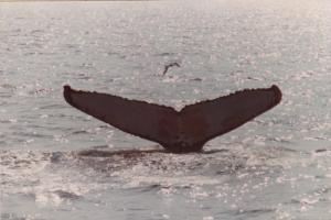 Tail of a humpback Whale #2 , 50-70s